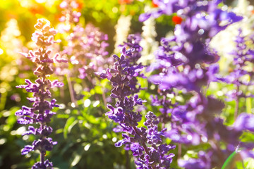 Gardens with the flourishing violet lavender flowers