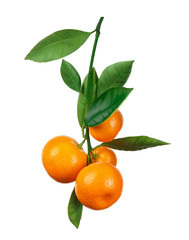 tangerines on branch isolated on white