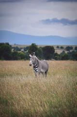 Zebra Walk 2