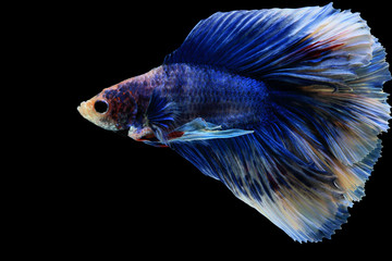 Betta fish, siamese fighting fish betta splendens (Halfmoon fancy blue betta ),isolated on black background.