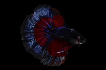 Betta fish, siamese fighting fish betta splendens (Halfmoon fancy betta ),isolated on black background.