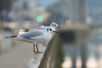 Seagull in Galicia (Spain)