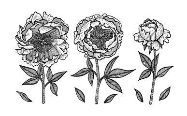 Hand-drawing peonies. Vector graphic flowers. Design elements for invitations, wedding greeting cards, wrapping paper, cosmetic or food products