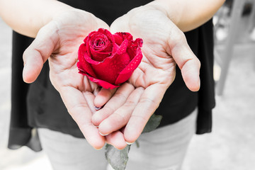 Red rose with droplet in the hands of woman, Valentines Day concept