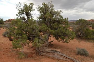 Crazy desert tree