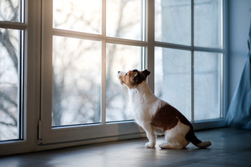 Jack Russell Terrier on the window sill