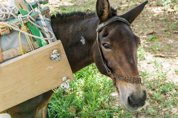 A donkey in Kythnos Aegean island of Greece