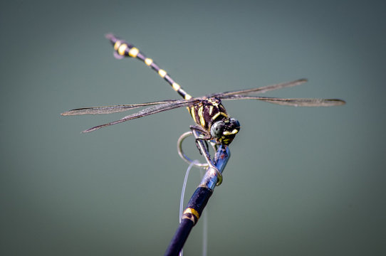 Dragonfly on Fishing Rod
