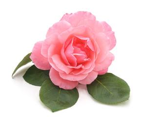 Beautiful pink rose.
