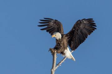 Bald eagle landing on a tree branch with clear skies