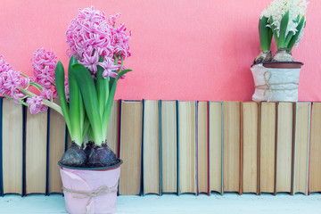 Pink hyacinths and whit hyacinths   in pot infront of pile of books at pink background. Beautiful spring pink background. Copy space.