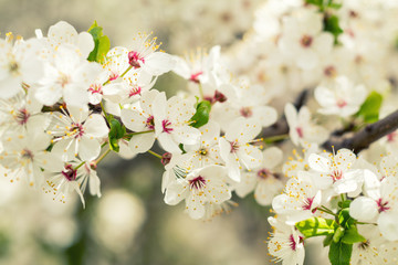 Spring background art with white cherry blossom. Beautiful nature scene with blooming tree and sun flare. Sunny day. Spring flowers. Abstract blurred background. Shallow depth of field.