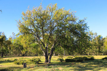 Old oak tree in an moroccan meadow. Spring meadow with big tree with fresh green leaves