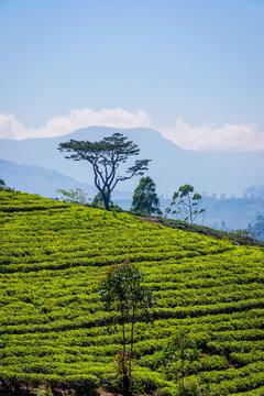 Tea plantations and Adams peak, Sri Lanka