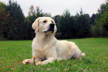 pedigree dog Golden Retriever lying on the green grass