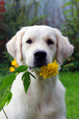 pedigree white dog Golden Retriever with yellow flower rudbeckia in hish teeth
