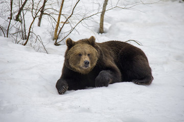 Lazy Brown Bear lying on the snow. Bavarian Forest National Park.