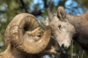 Showing Interest-Bighorn Ram and Ewe