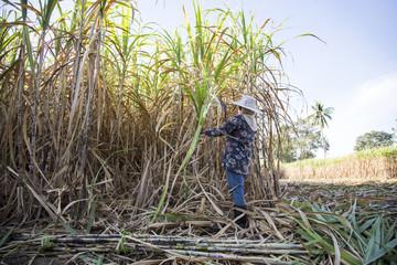 harvest sugarcan in cool season