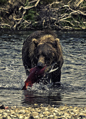 A voracious giant brown bear fishing salmons in a river in the Katmai peninsula, Alaska
