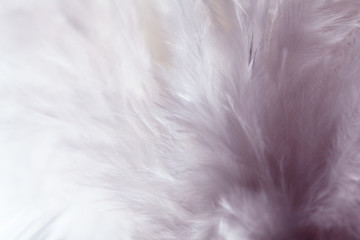 Light violet feather of bird for background image.Texture feather