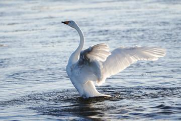 Foto op Canvas Zwaan 冬の白鳥