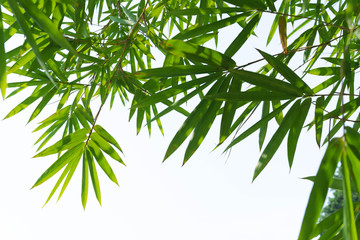 green bamboo leaves isolated on white
