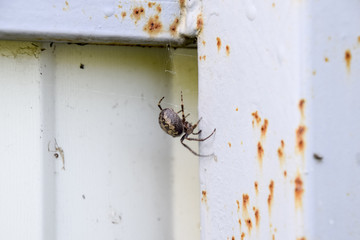 female spider of the crosspiece weaves the net. Spider on the fence