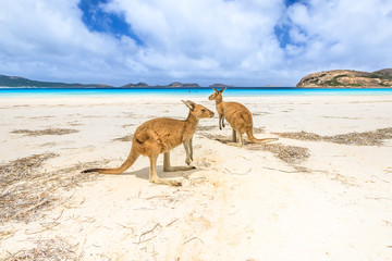 Zelfklevend Fotobehang Kangoeroe kangaroos standing at Lucky Bay in Cape Le Grand National Park, near Esperance in Western Australia. Lucky Bay is one of Australia's most well-known beaches known for pristine white sand and kangaroos