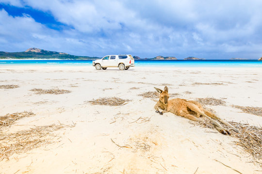 kangaroo lying on pristine and white sand of Lucky Bay in Cape Le Grand National Park, near Esperance in Western Australia. On background a 4WD runs one of the most beautiful Australian beaches.