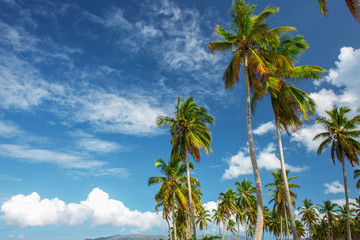 the tops of the green palm trees on blue sky background