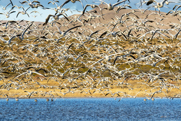 Snow Geese at Bosque del Apache NWR in New Mexico at Sunrise