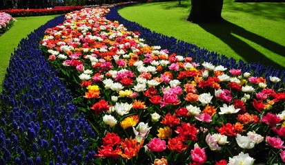 Keukenhof also known as the Garden of Europe, is one of the world's largest flower gardens, situated in Lisse, Netherlands. Vibrant and colorful flowers bed in keukenhof garden captured in Netherlands