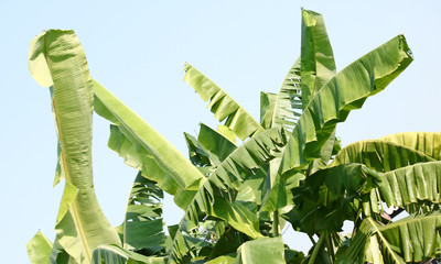 banana tree leaves