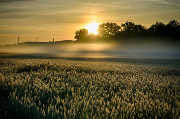 Kornfeld im Nebel bei Sonnenaufgang