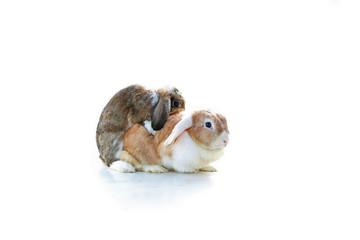 Mating rabbit. Mini Lop Ear rabbits mating on white background. Rabbit breeding. Studio photo. Animal pet mammal bunny dutch widder dwarf breeding.