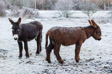 Hembra y cría de burro, en invierno con nieve. Equus africanus asinus.