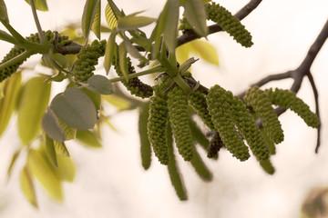 Early spring bloomed hazel tree