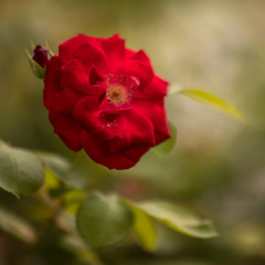 Red dog Rose