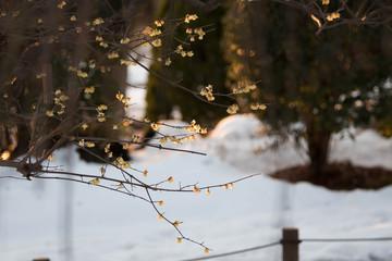 wintersweet in the snow