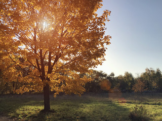 Autumn sun through the golden crown of a tree.