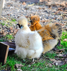 Two beautiful silk chickens in white and brown colours standing together at a garden
