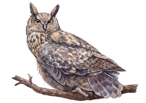 Watercolor hand drawn long-eared owl on white background