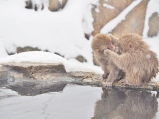 Portrait of Japanese macaques (Snow Monkey) at the edge of the hot spring pool (Onsen) at Jigokudani Monkey Park in Nagano prefecture, Japan.