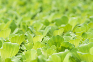 Close-up green leaf of water lettuce for green nature background