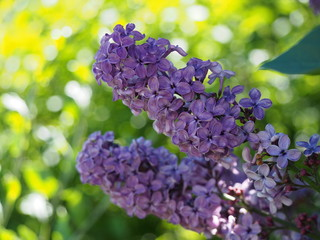 A sprig of blossomed lilac on a green background in the afternoon sun.