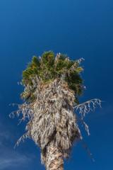 Top of a Washingtonia fan palm tree against a deep blue sky, copy space, vertical aspect