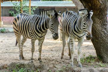 photo of two zebra