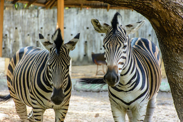photo of two zebra