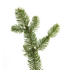 twig of fir on a white background